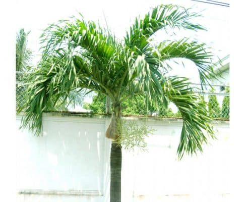 các loài cây phong thủy trồng trước nhà 1