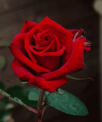 hoa hồng trưng bàn làm việc