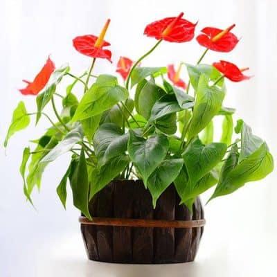 hoa tiểu môn trưng bàn phong thủy