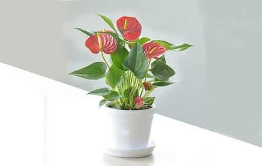 hoa tiểu môn có nhiều màu đa dạng